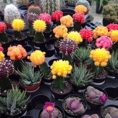diversos tipos de cactus, los de colores son mutaciones genéticas e injerto