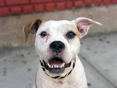 TO BE DESTROYED 9/16/14 Brooklyn Center -P  My name is RYNA. My Animal ID # is A1012561. I am a female white and tan am pit bull ter. The shelter thinks I am about 4 YEARS old.  **$200 DONATION to the NEW HOPE PARTNER that pulls! Please contact URGENT for details**  https://www.facebook.com/Urgentdeathrowdogs/photos/a.611290788883804.1073741851.152876678058553/864692483543632/?type=3&theater