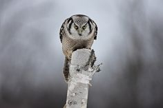Staredown with a Hawk-owl belogs to Birds of Prey
