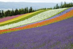 Lavender flower farms of Furano, Hokkaido, Japan