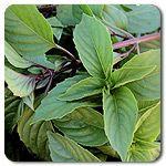 Organic Sweet Thai Basil