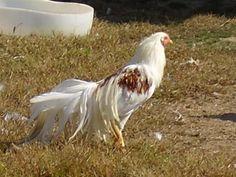 rare chicken breeds
