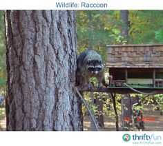 "This is not a pet, just a wandering visitor. I had made this little ""Town Hall"" for the squirrels to come and eat peanuts from, and one morning there was a raccoon up there helping himself to the buffet."