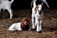 Boer Kid Goats