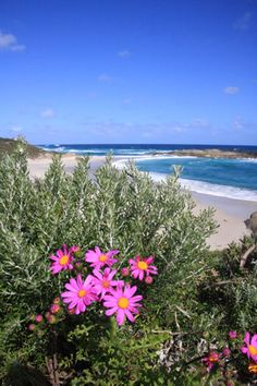 Wildflowers at Lights Beach Denmark, Western Australia along the Bibbulmun Track
