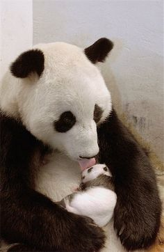 baby animals | panda mama and baby