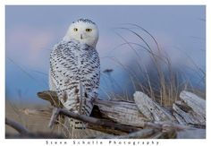 Make your Destination Ocean Shores, Wa.!  A fantastic shot of aSnowy Owl at dusk on driftwood at Damon Point, Ocean Shores, WA    Photo Credit- Steve Scholle Photography