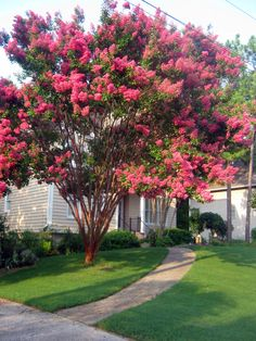Southern Crepe Myrtle - this is a great tree. It comes in many different sizes and all sorts of colors. It also flowers for a very long time!