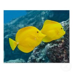 Underwater life; FISH: A Pair of Yellow Tangs print -