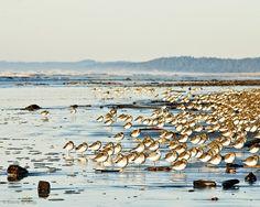 Sleeping birds. . . Ocean Shores, Washington