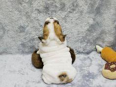 Mini English Bulldog