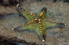 """18 Mind blowing STARFISH PHOTOS and FACTS Sea star or Star fish (asteroidea), is not actually a fish.  The most popular type is the starfish with 40 to 50 """"spokes"""". They have no brain, or blood. We can find more than 2,000 types of sea stars worldwide."""