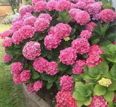 Gorgeous Pink California Hydrangea!