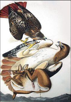 Red Tailed Hawk - John James Audubon