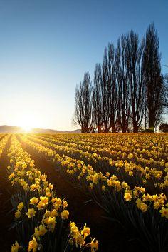 Field of yellow daffodils at sunrise, Skagit Valley, Mount Vernon, Washington