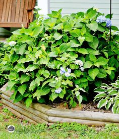 How to Start Hydrangeas From Cuttings