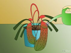 """Pitcher Plant Care"""