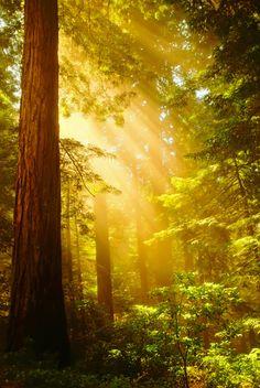 Sun Rays, Redwood Forest, California  photo via meg