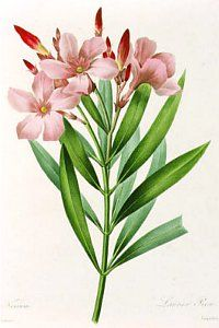 Nerium oleander - gardening in mediterranean climates worldwide