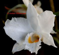 Dendrobium infundibulum amaz flower, dendrobium infundibulum, orchid flower, tropic garden, bloom flower, orchid mystiqu