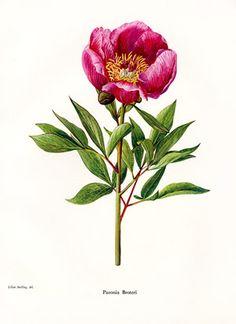 Botanical Prints + Natural History Prints from StudioBotanika