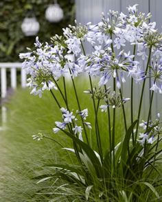 "Agapanthus ""Twister"" Zone: 7-11 (annual in Zone 5) Height: 18-20"" Spread: 15-18"""