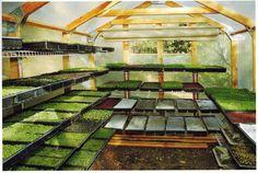 Green house idea microgreen, radishes, red, farmers market, greenhouses, micro green, healthy recipes, eating organic, garden