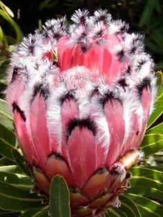 """Pink Mink"", a Protea flower plant, color, pink mink, south africa, protea flower, unusual flowers, beauty, garden, feather"