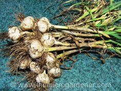 How to grow your own garlic!