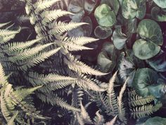 Japanese painted fern and ...