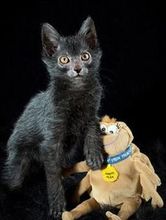 Lykois the Werewolf Cat