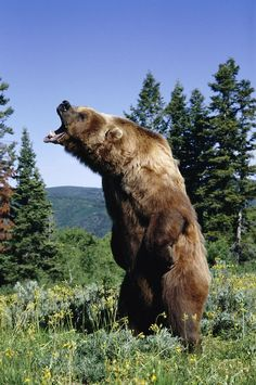The grizzly bear (Ursus arctos horribilis), also known as the silvertip bear, the grizzly, or the North American brown bear,