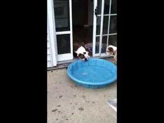 swimming pools, cutest dogs, english bulldogs, bulldog videos, entertain video, gus, dog humor, outdoor pools, go dog go