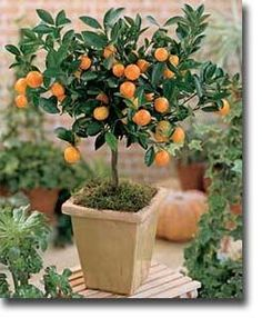 calamondin orange - can also be a house plant