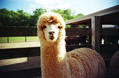 A is for Alpaca