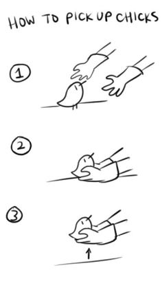 How to pick up chicks, a visual guide.