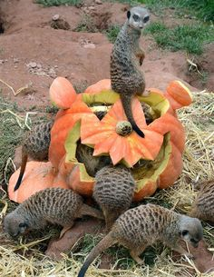 Meerkats inspect a pumpkin carved in Halloween design and filled with flour worms and straw on September 24, 2013 at the zoo in Leipzig, eas...