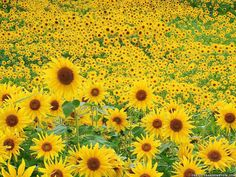 I can easily imagine standing in this field, by myself, hearing nothing but a few birds chirping and seeing nothing but sunflowers in every direction.  Makes me want to run out and buy something, anything yellow! #NYFW