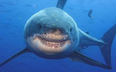 Amos Nachoum's image that captures the smile of a 14ft great white shark..