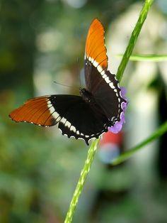 Missouri Butterfly
