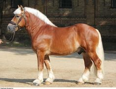 Rhenish-German Coldblood stallion Harald