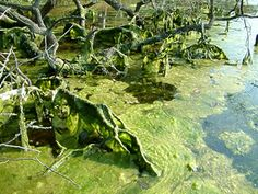 Understanding Algal Blooms - Including what they are, why they occur, and what's being done to reduce them.