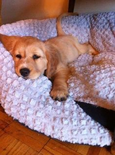 How do you resist that face?! nap time, animal lovers, sleepy time, golden retrievers, pet, baby dogs, baby animals, puppi, christmas trees