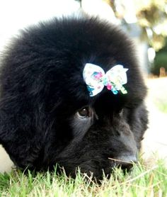 """Looks like a big ball on the grass! #dogs #pets #LandseerNewfoundlands #puppies Facebook.com/sodoggonefunny"