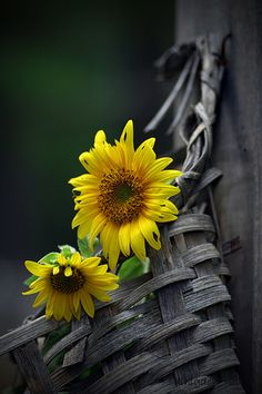 Sunflowers in basket hanging from a post!