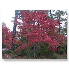 Fall Trees Postcards