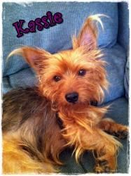 Kassie is an adoptable Yorkshire Terrier Yorkie Dog in Oklahoma City, OK. Hi, my name is Kassie. Im a little scared but I am already learning that my foster family is really nice and they give me lot...Please click on pic for additional info on this dog