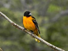 Costa Rica, Baltimore Oriole