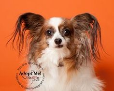 Chloe is an adoptable Papillon Dog in Wooster, OH. Little Chloe came to us after her owner passed away and another rescue could no longer care for her. �She is 8 years old, loves to play and snuggle. ...