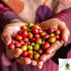 Did you know this is what freshly harvested #coffee cherries look like?  Click 'like' if you're thankful for all the hard work that makes your morning cup of coffee possible! #FairTrade